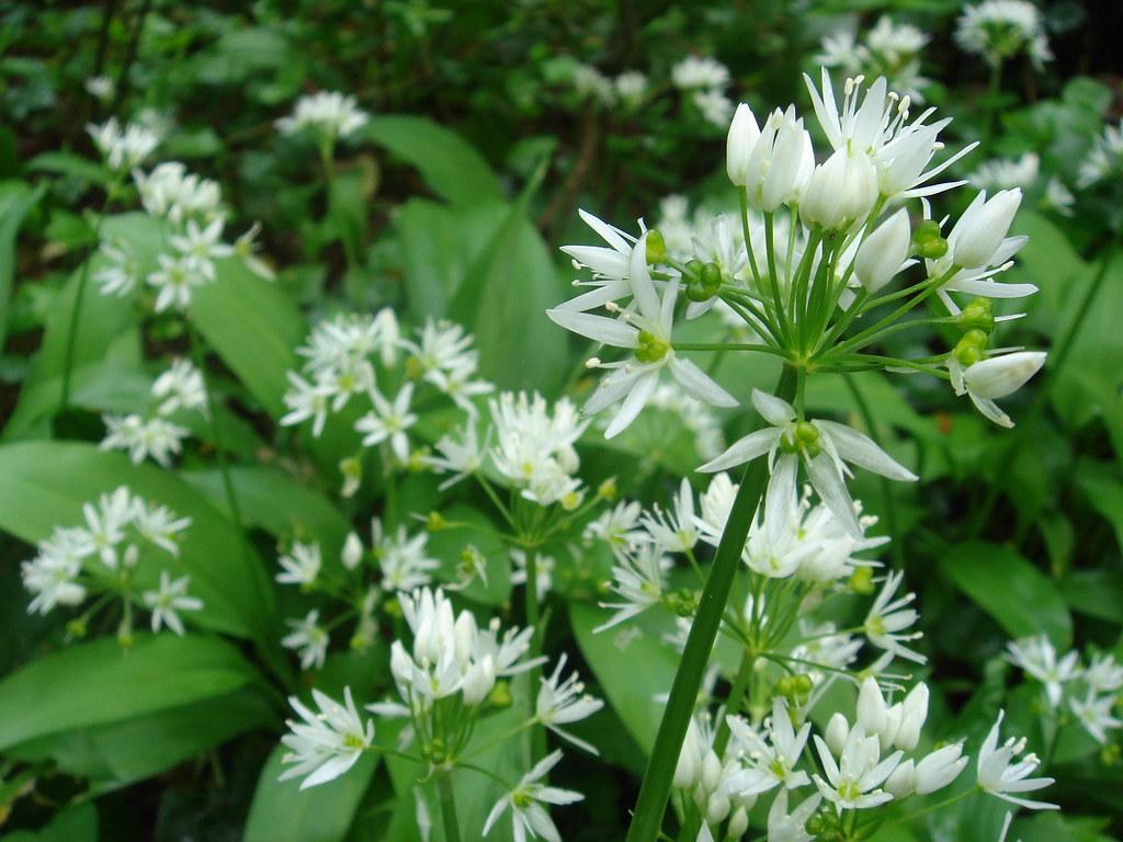 ほのかなニンニクの香りのする植物/ラムソン
