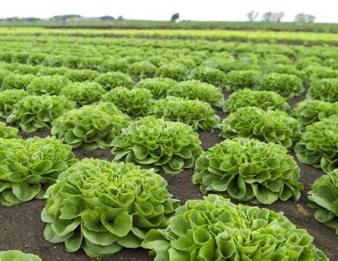 サラノバレタスの栽培方法