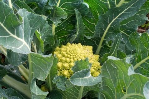 オシャレなブロッコリー・ロマネスコの栽培方法
