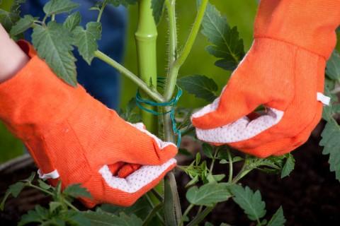 スペインの獅子唐(パドロン)の栽培方法