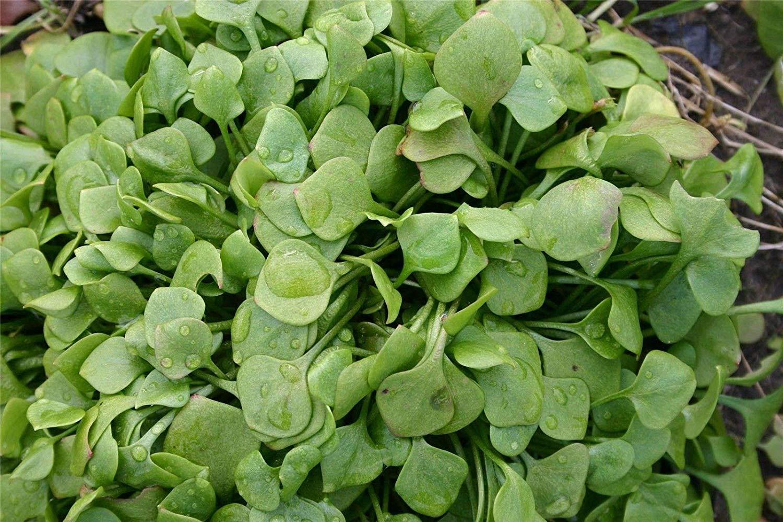 可愛らしくサラダを演出するハート型の葉/クレイトニア