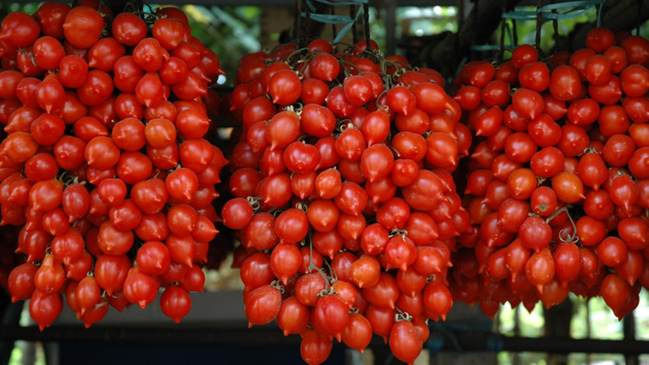 ナポリの赤い宝石ピエンノロトマト
