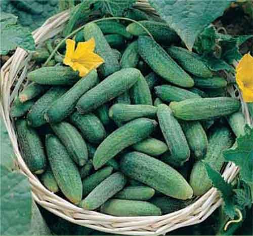 イタリア野菜のミニキュウリ「ピッコロ」