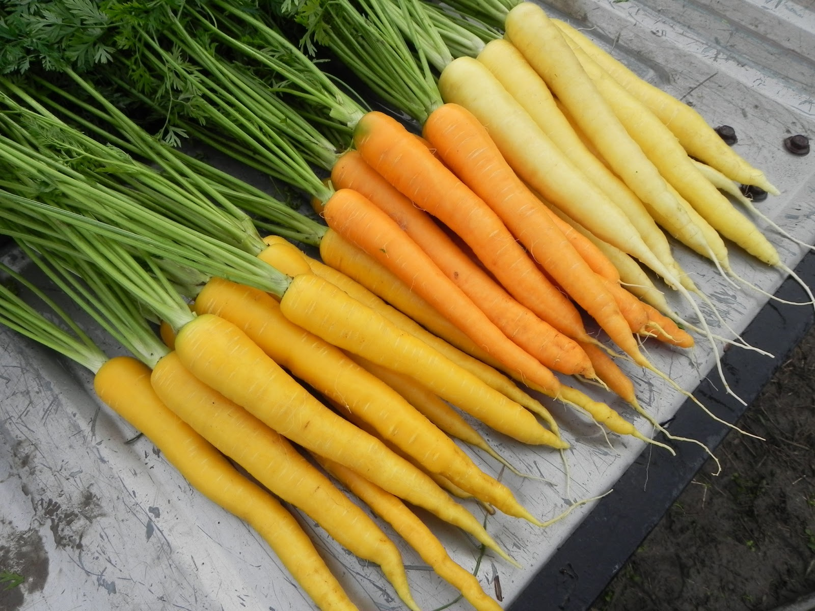 イタリア野菜の黄人参「ジャンヌドウブス」