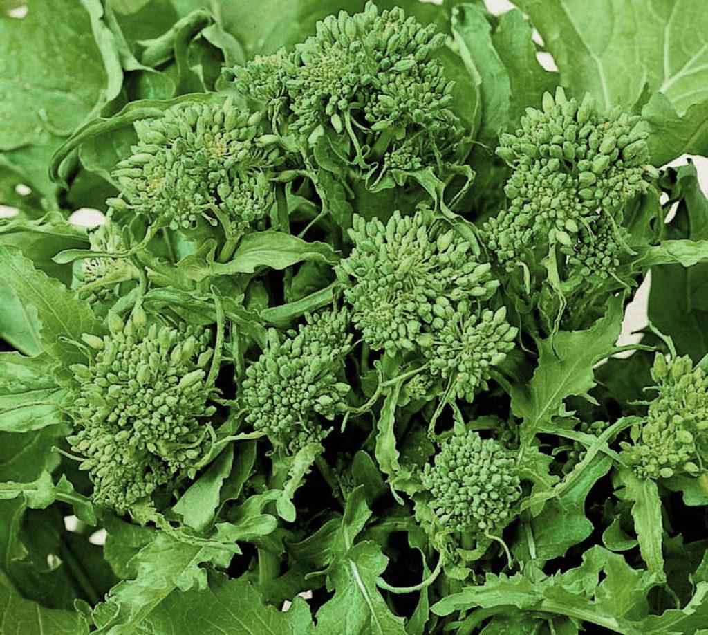 ヨーロッパの菜の花「チーマ・ディ・ラーパ」
