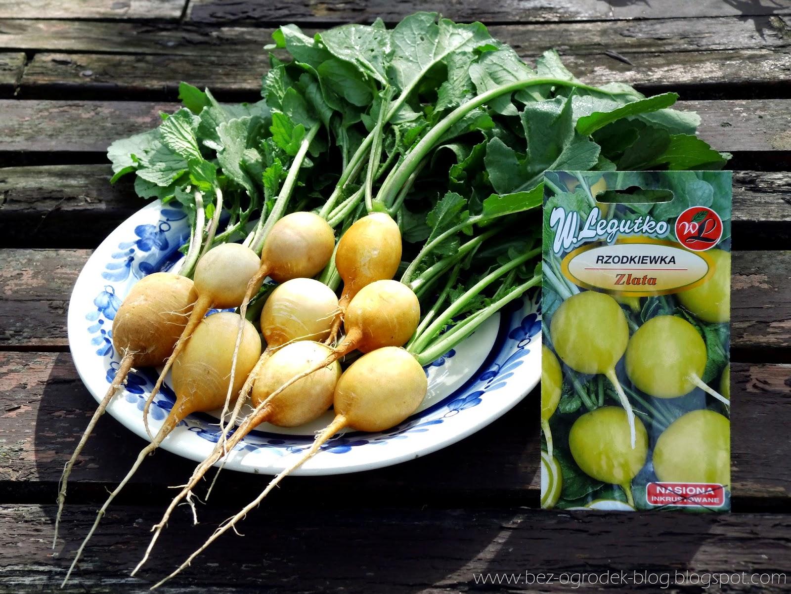 黄色いラディッシュ西洋野菜「ズラータ」