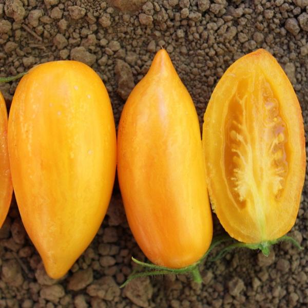 黄金色の縞模様が特長スイートクリームトマト