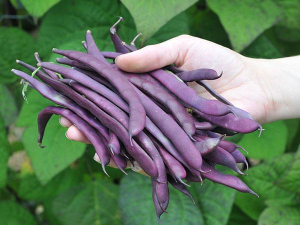 イギリス野菜の品種・色鮮やかなインゲン「ヴァイオレット・ポドッド」