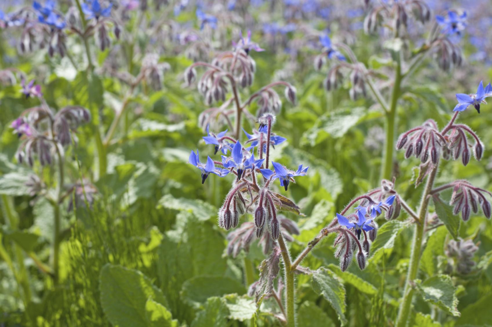 星形の青花が美しい大型のハーブ 「ボリジ」