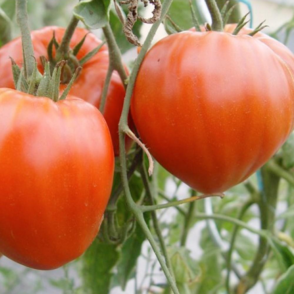 牛の心臓と呼ばれるトマト/ビーフステーキトマト