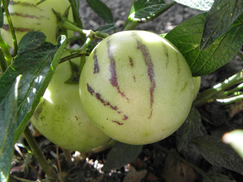 メロンのような風味がある果物「ペピーノ」