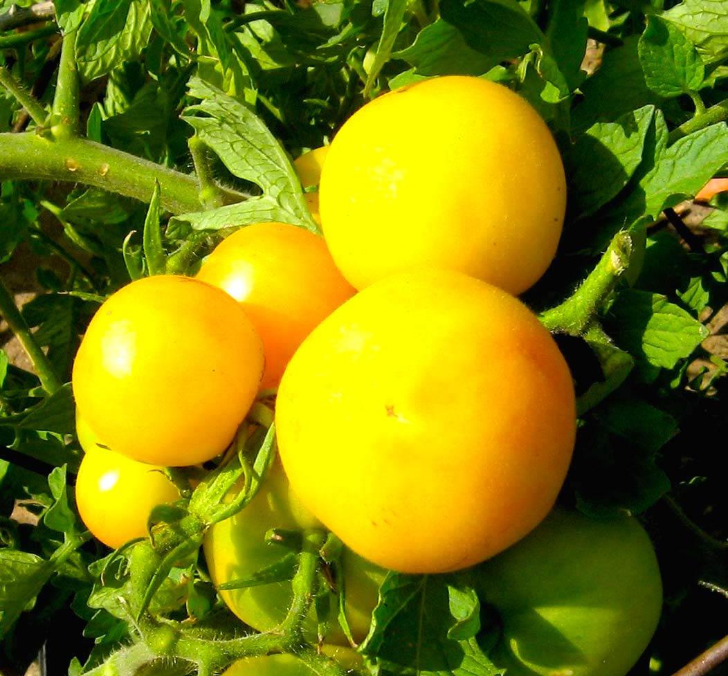 桃のようにかわいい甘味が強くさわやかな味わい/ガーデンピーチトマト
