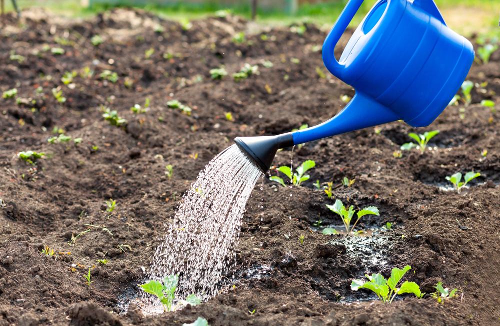 イタリアのそら豆 ファーベの栽培方法